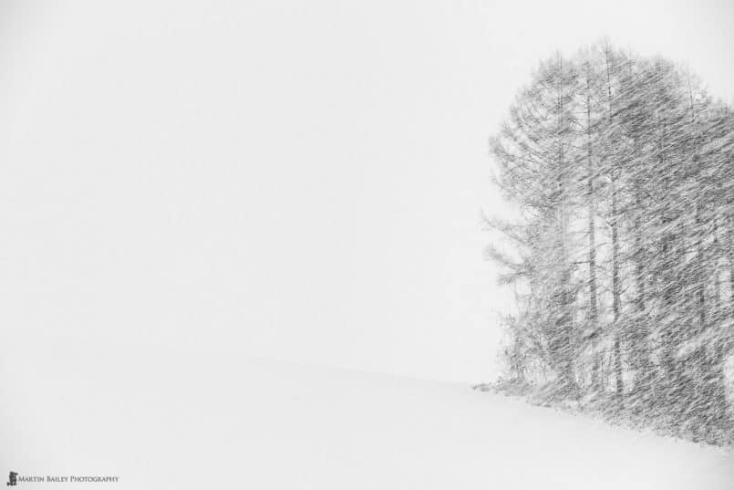 Biei Trees in Snow Storm