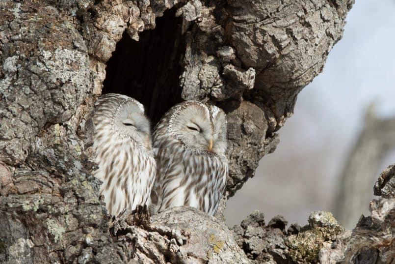 Ural Owl Pair