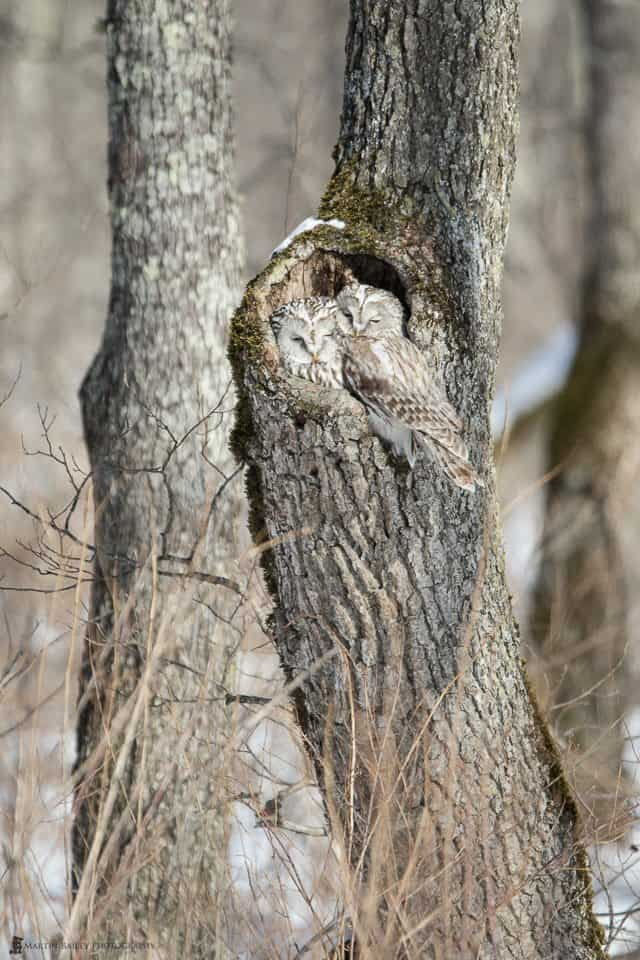 Ural Owls in Tree