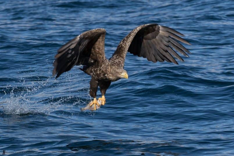 White-Tailed Eagle at Work