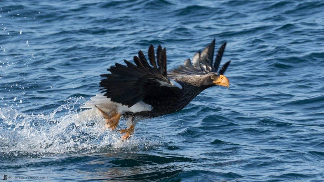 Steller's Sea Eagle at Work