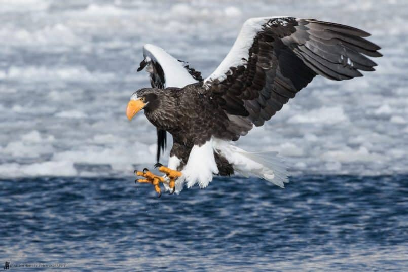 Steller's Sea Eagle Preparing for Attack