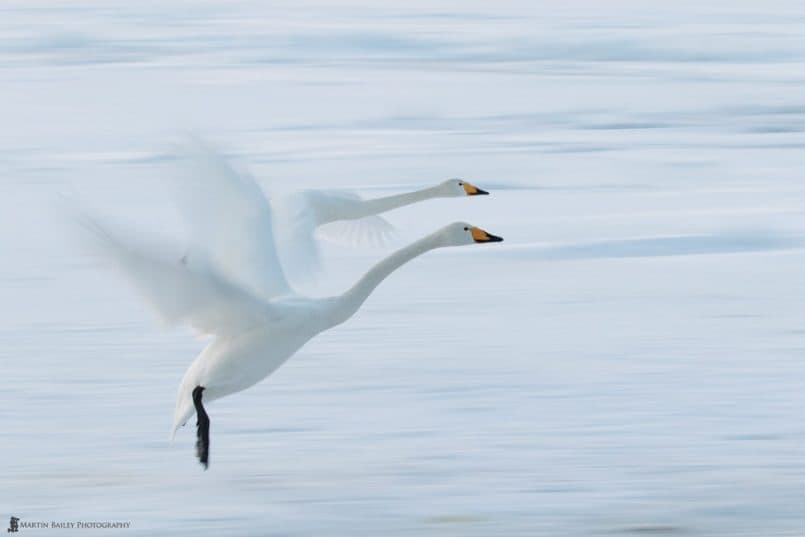 Neck and Neck Whooper Swans