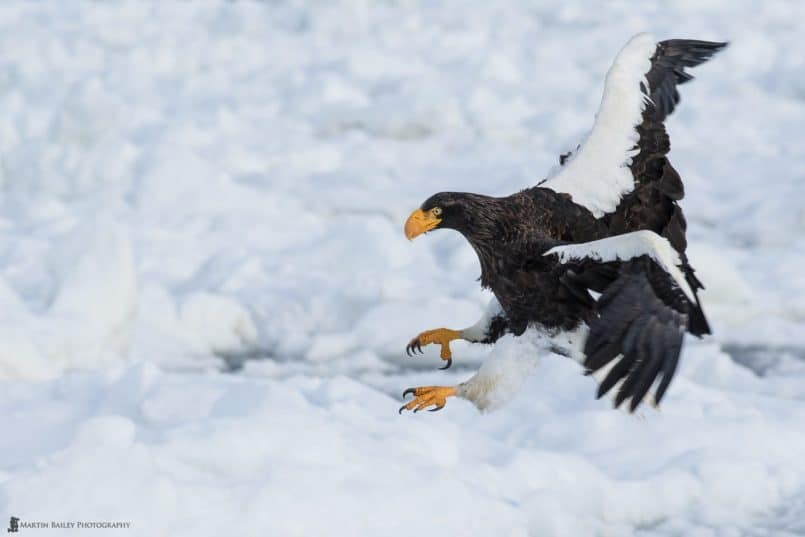 Steller's Sea Eagle Coming in to Land