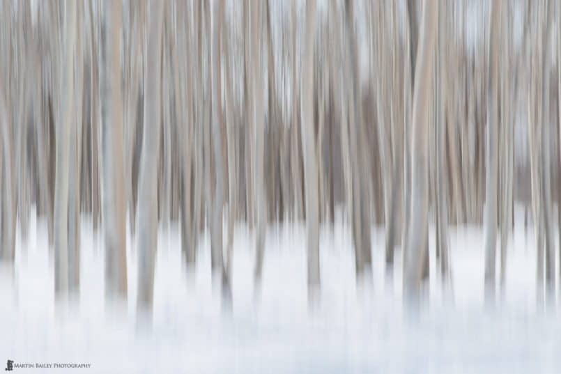 Birch Trees in Snow