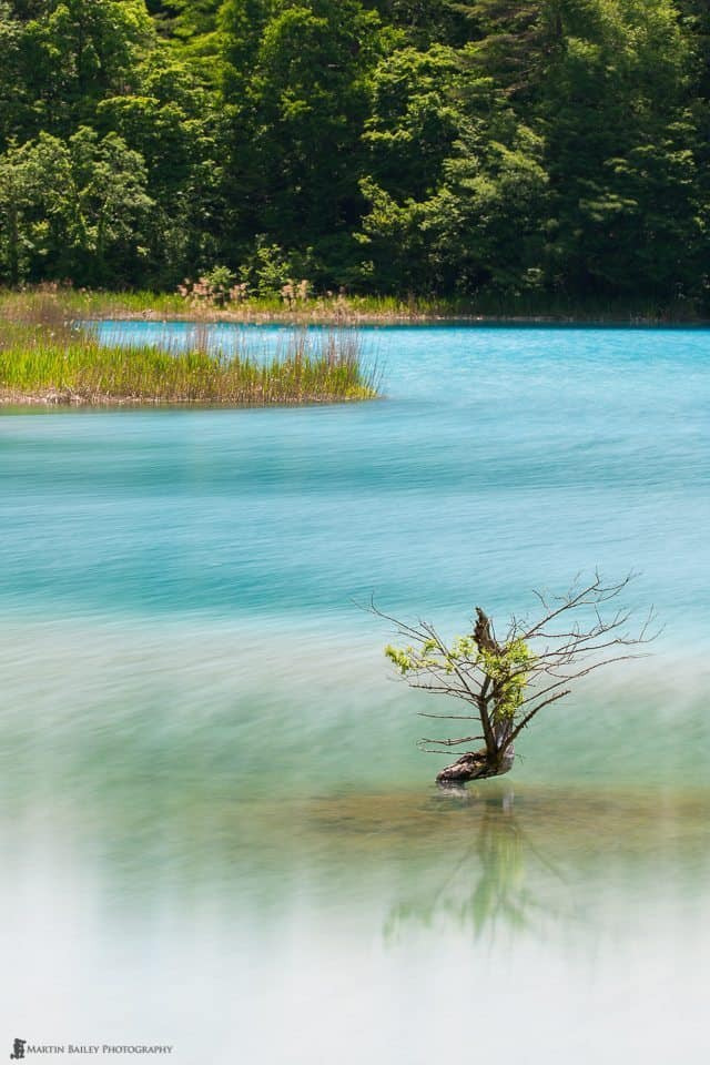 Small Tree in Benten Numa (Pond)
