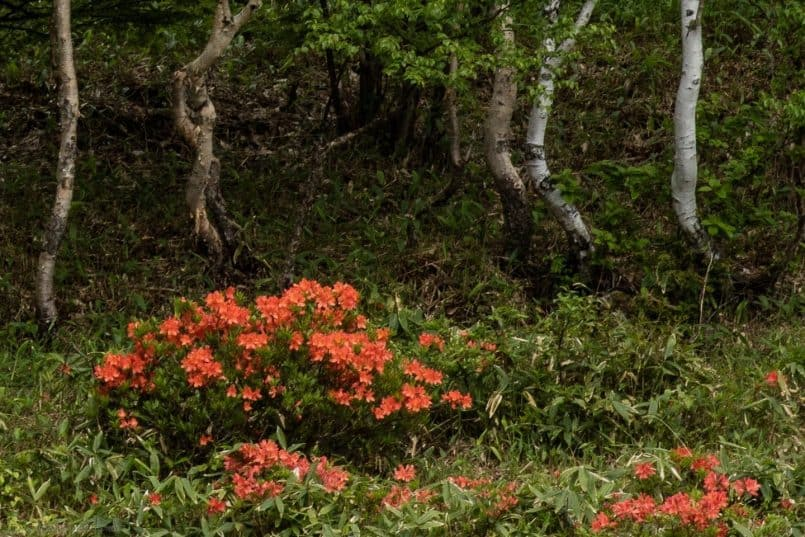 Birch and Rhododendron (100% crop)