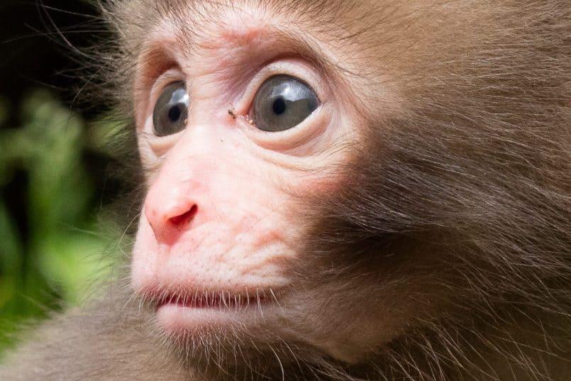 Six Week Old Snow Monkey (100% Crop)