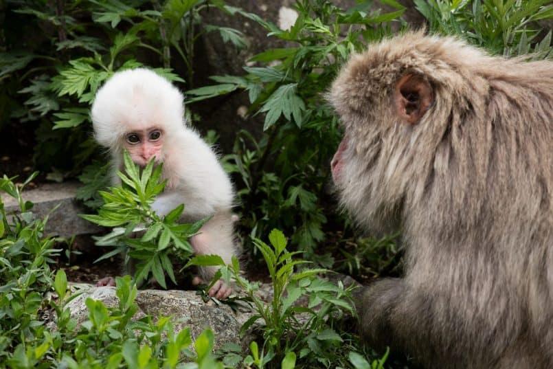 White Baby Snow Monkey