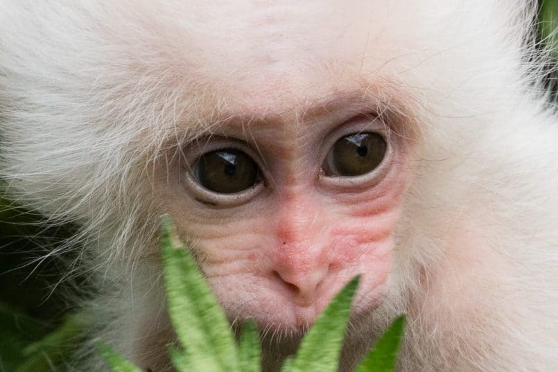 White Baby Snow Monkey (100% Crop)