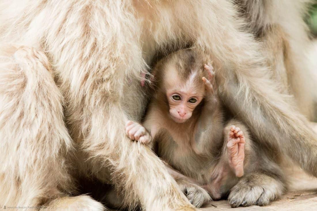 Six Week Old Snow Monkey
