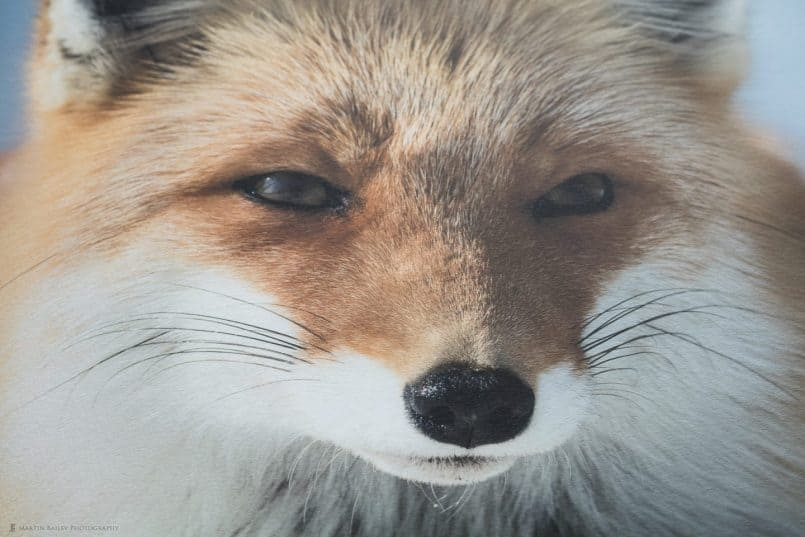 Photo of Fox Print