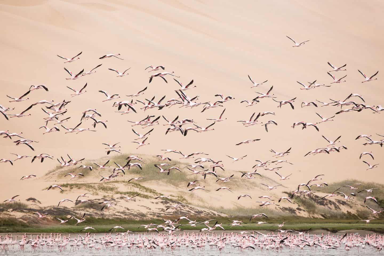 Flamingoes Take Flight