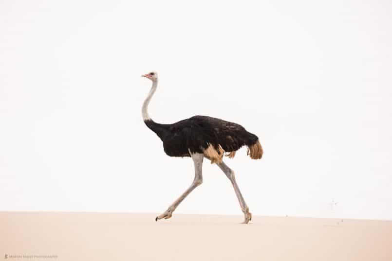 Ostrich on Dune