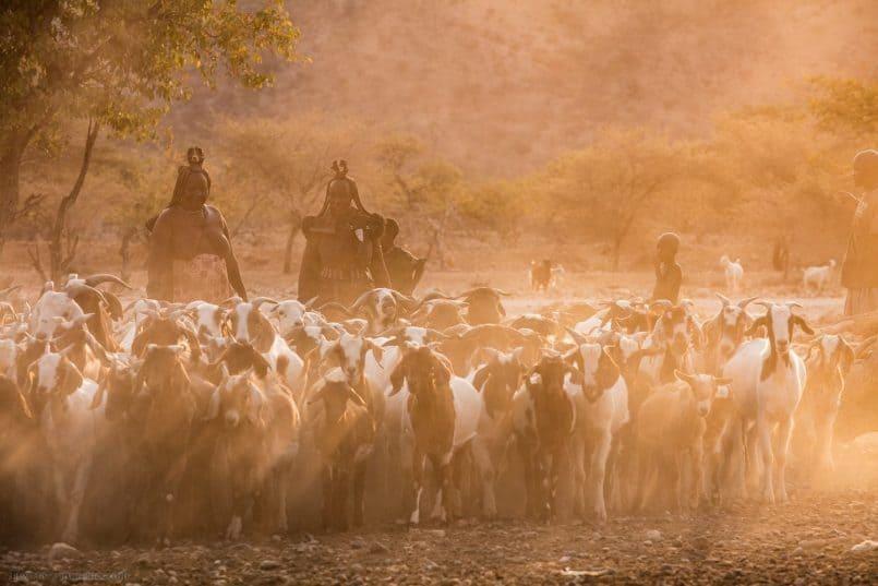 Goat Herd in Sun's Rays