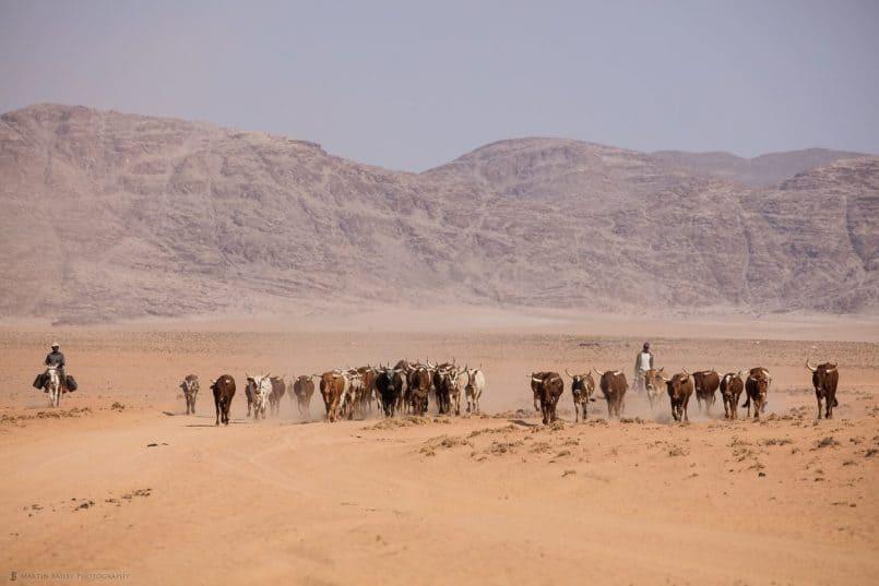 Herding Long Horns