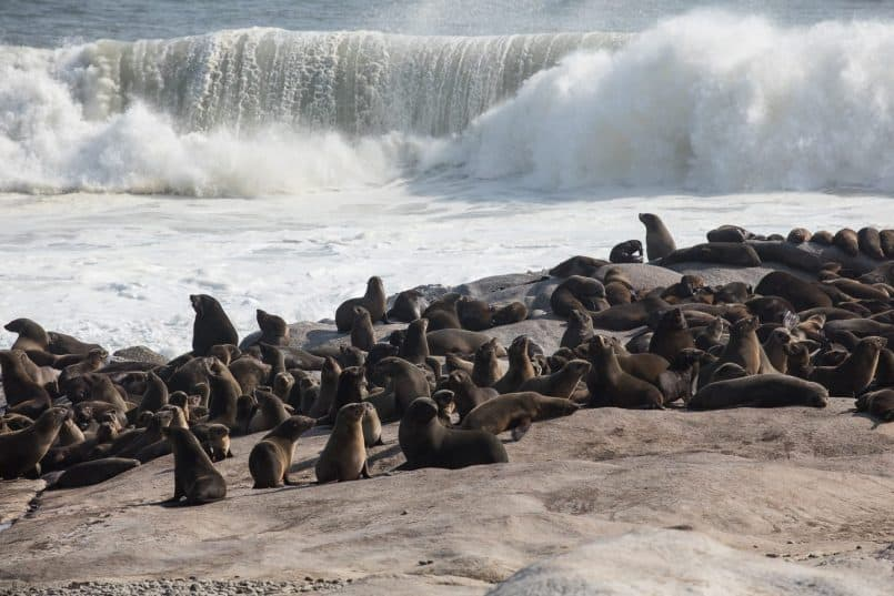 Cape Fur Seals at Mowe Bay