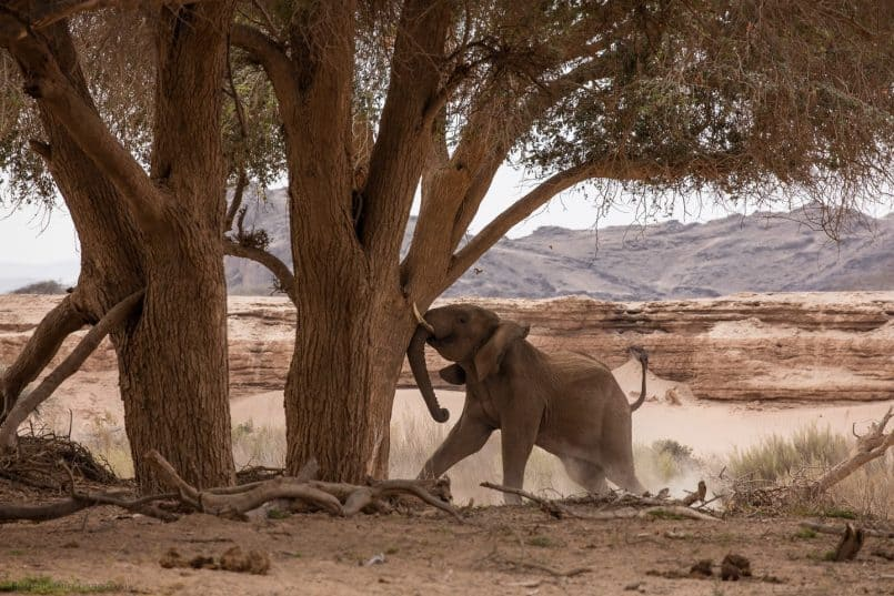 Desert Elephant Shaking an Ana Tree