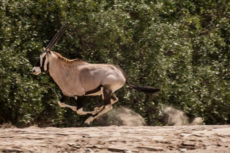 Oryx at Full Pelt