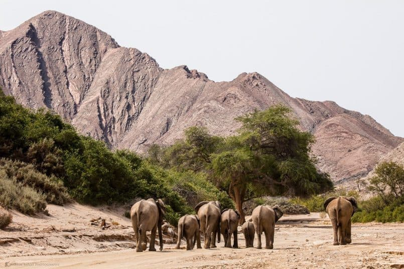 Herd of Desert Elephants