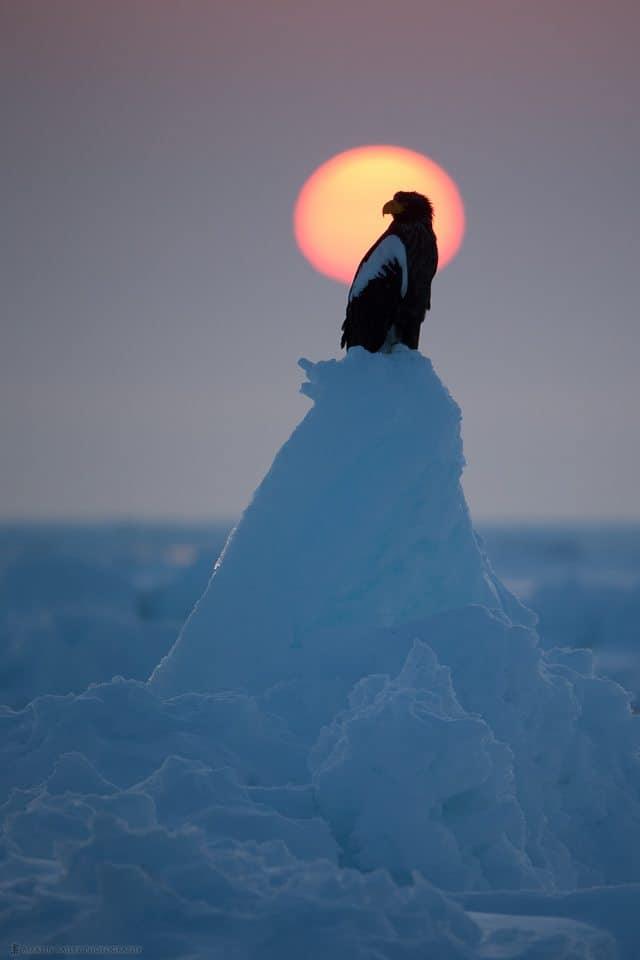 Steller's Sunrise
