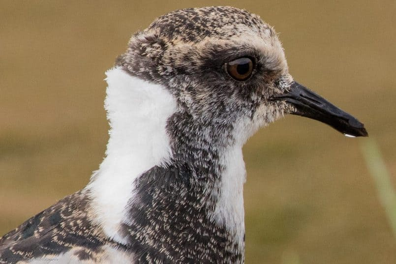 Juvenile Blacksmith Lapwing 100% Crop