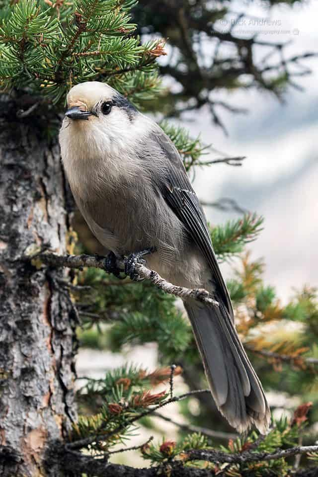 Gray Jay - Rick Andrews