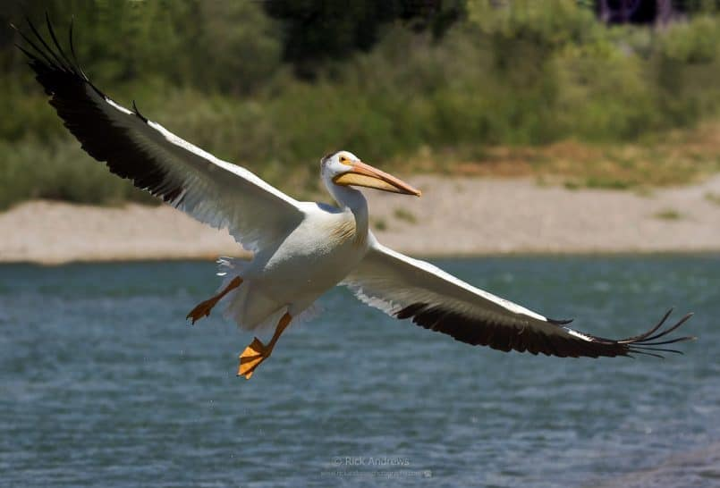 White Pelican - Rick Andrews
