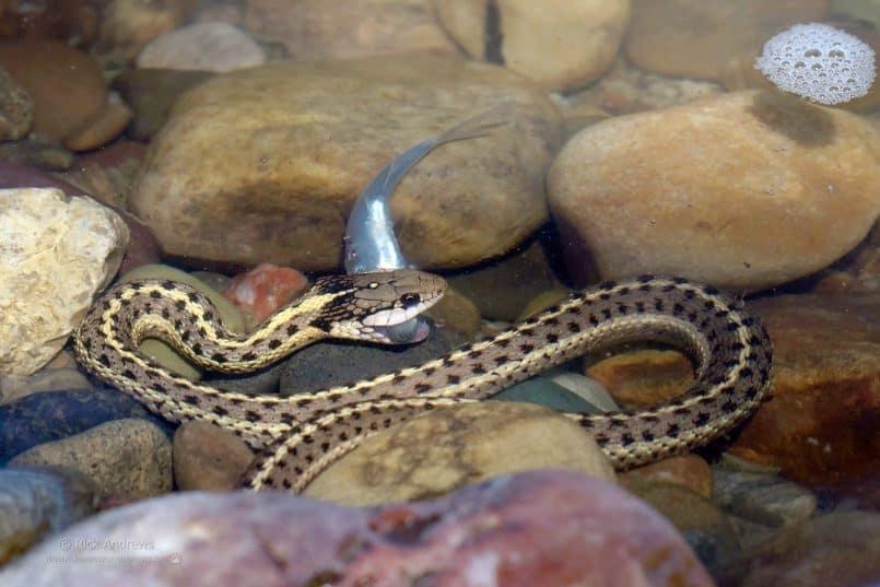 Garter Snake - Rick Andrews