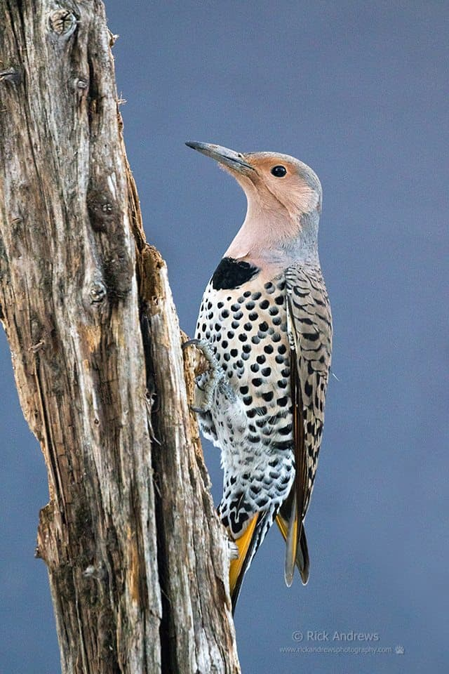 Northern Flicker - Rick Andrews
