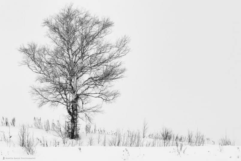 """Biei """"Martin's"""" Tree"""