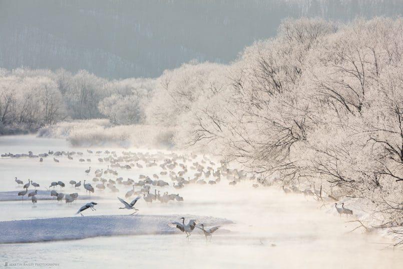 Cranes Frolicking