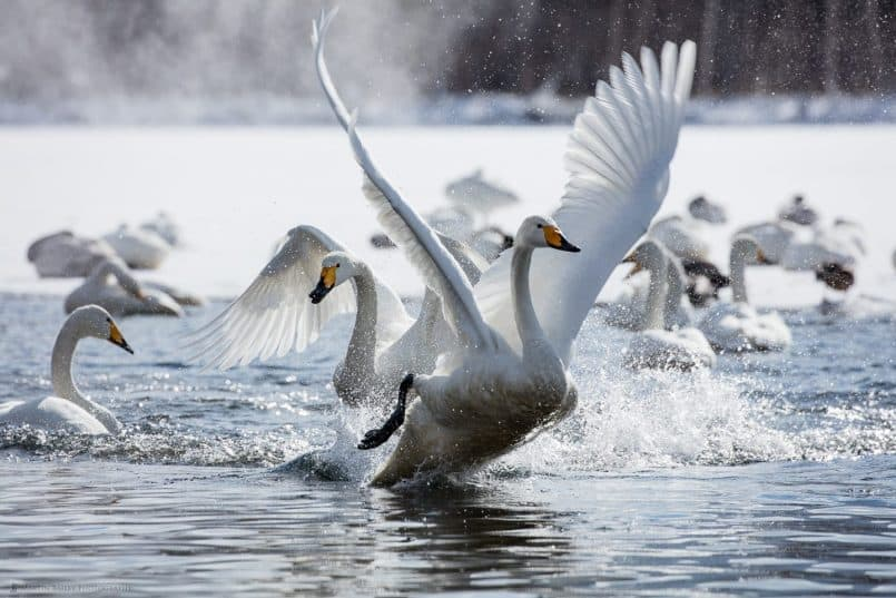 Whooper Swans Fighting
