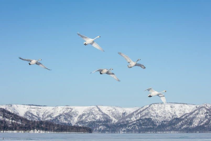 Whooper Swans Arrive