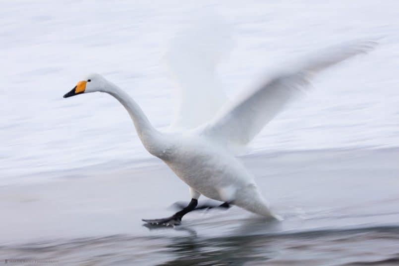 Whooper Swan Skating