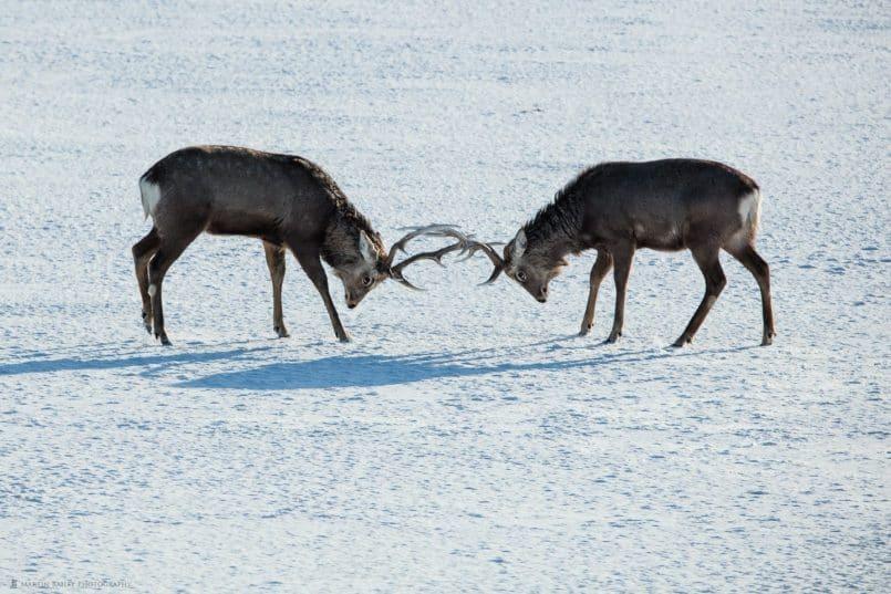 Ezo Deer Rutting