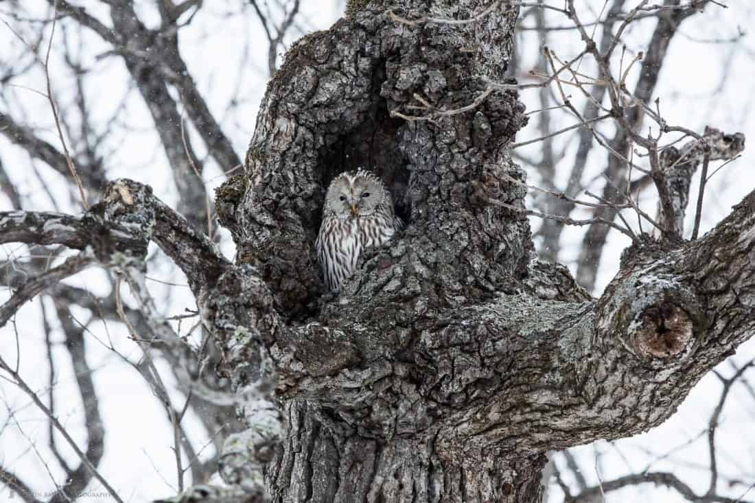 Ural Owl in Tree