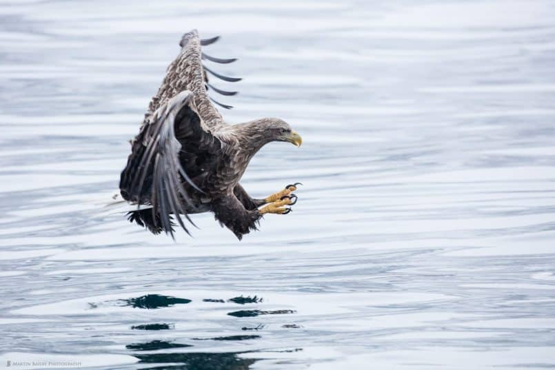 White-Tailed Eagle with Talons Ready