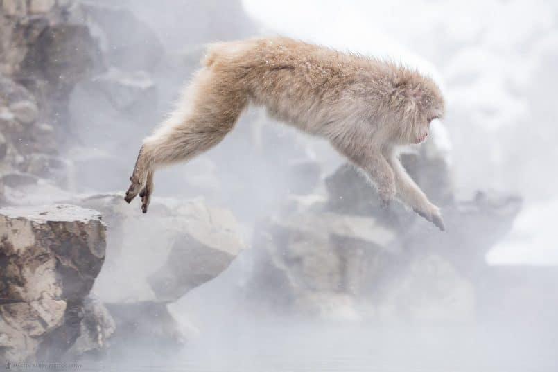Jumping Snow Monkey
