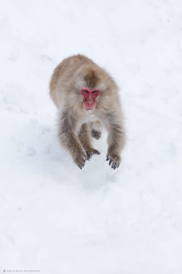 High Speed Snow Monkey