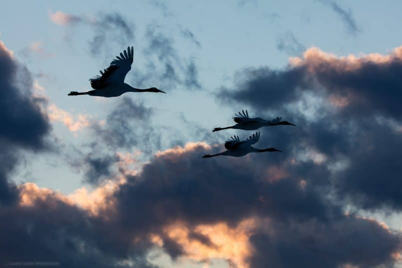 Three Cranes at Dusk