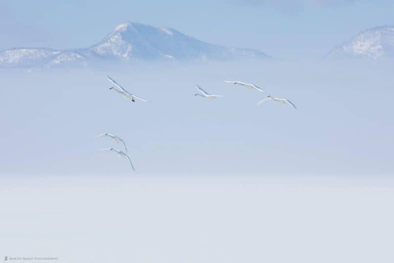 Whooper Swans' Misty Approarch