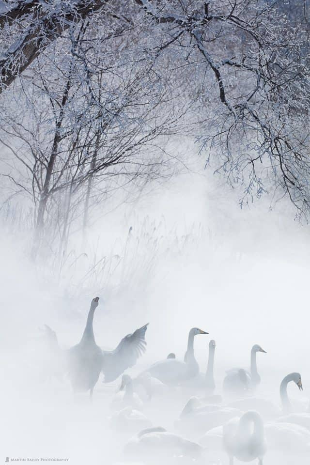 I Dreamt of Swans