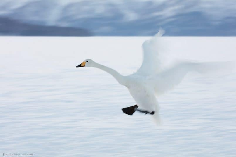 Whopper Swan in Flight
