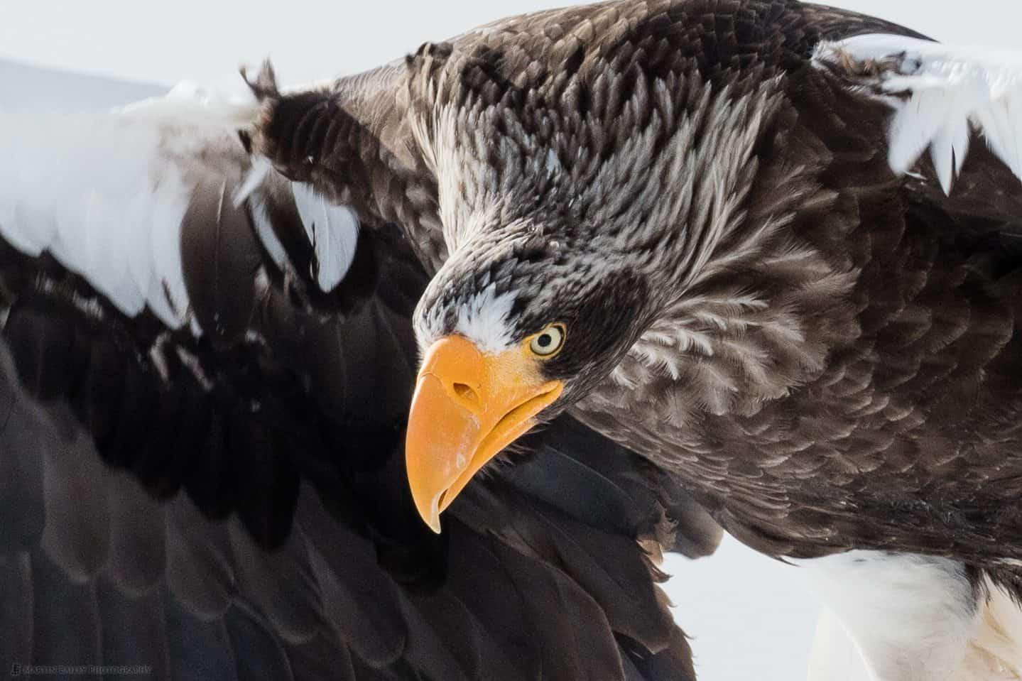 Steller's Sea Eagle 100% Crop
