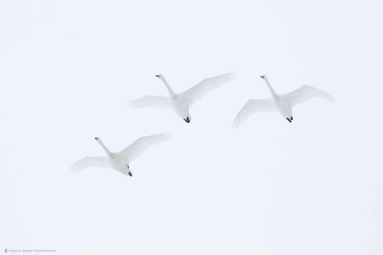 Swan Ascent