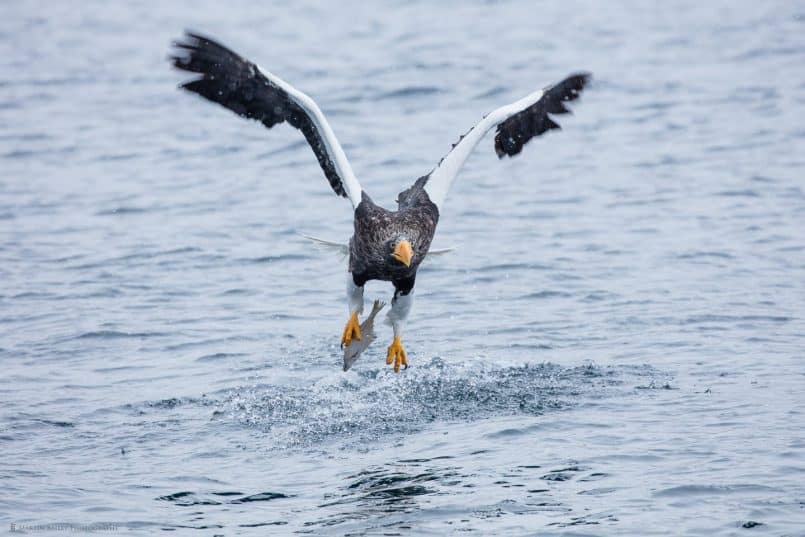 Steller's Sea Eagle Catching Fish with One Foot