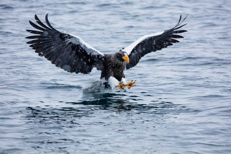 Steller's Sea Eagle Swooping to Catch Fish
