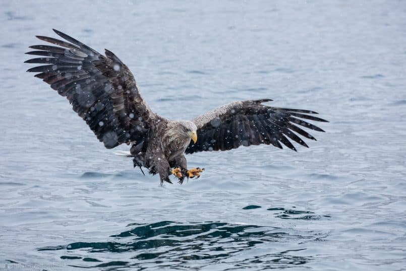 White-Tailed Eagle Swooping to Catch Fish Talons Forward