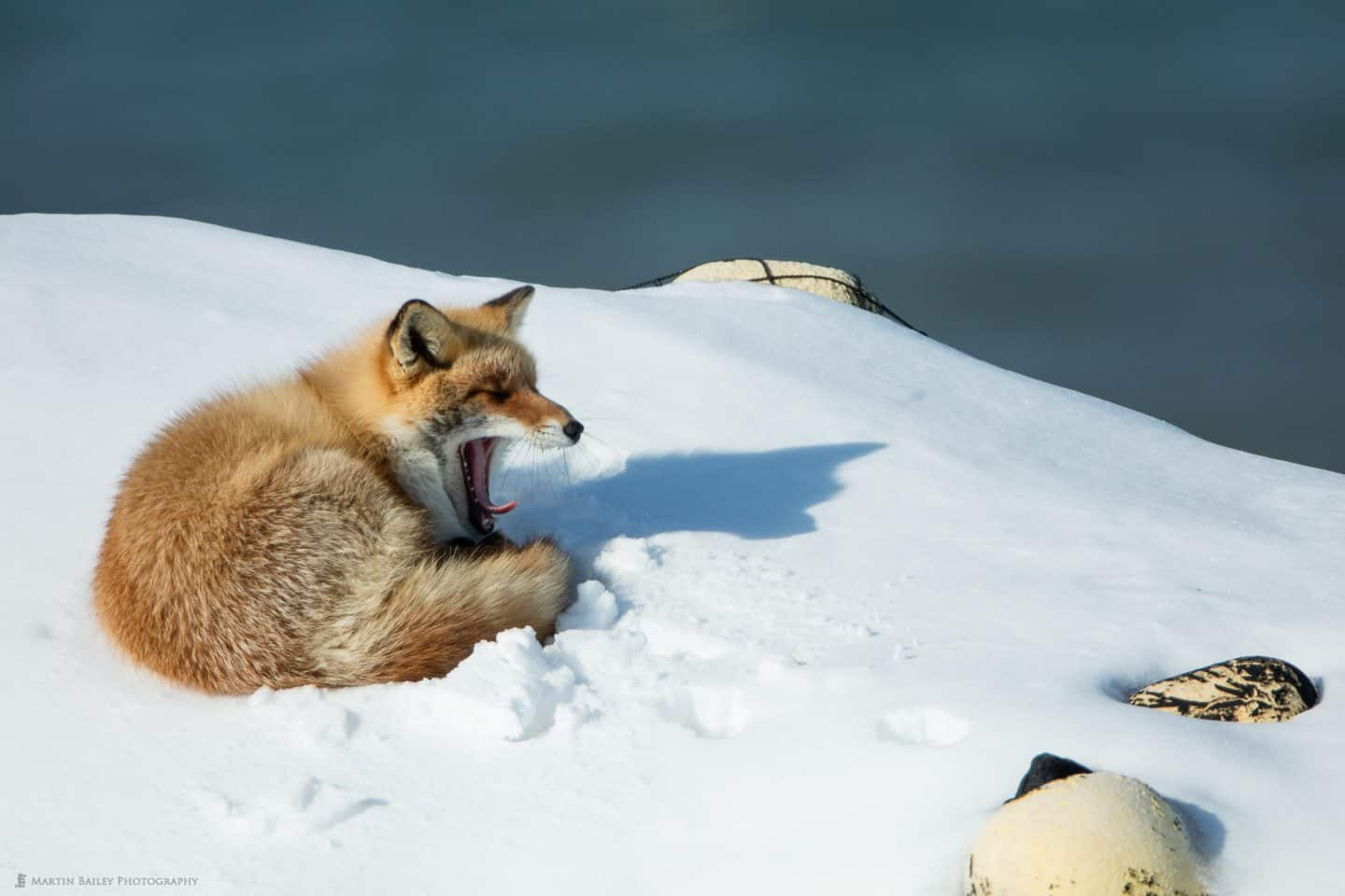 Northern Red Fox Yawning with Fishing Floats